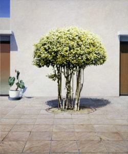 Ravenna Tree